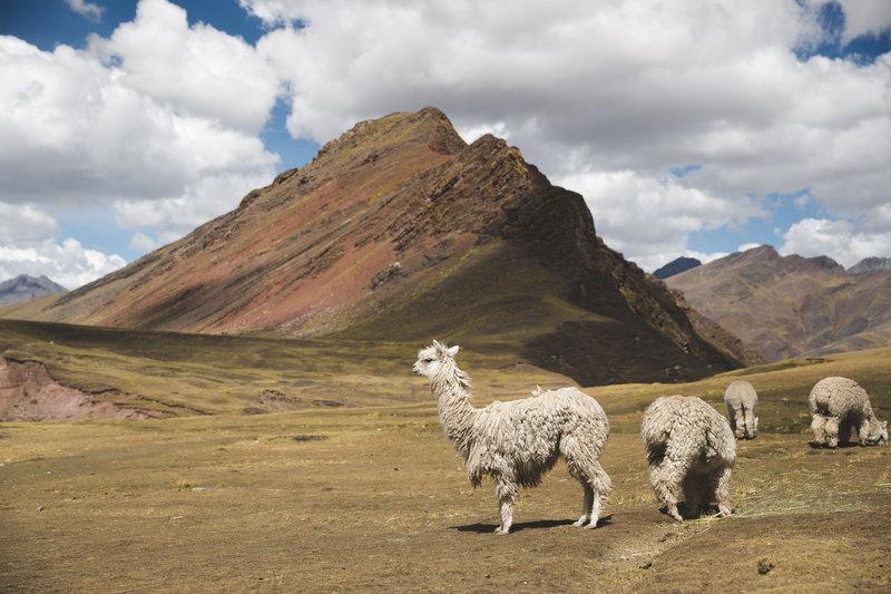 Llamas or Alpacas on the Trail