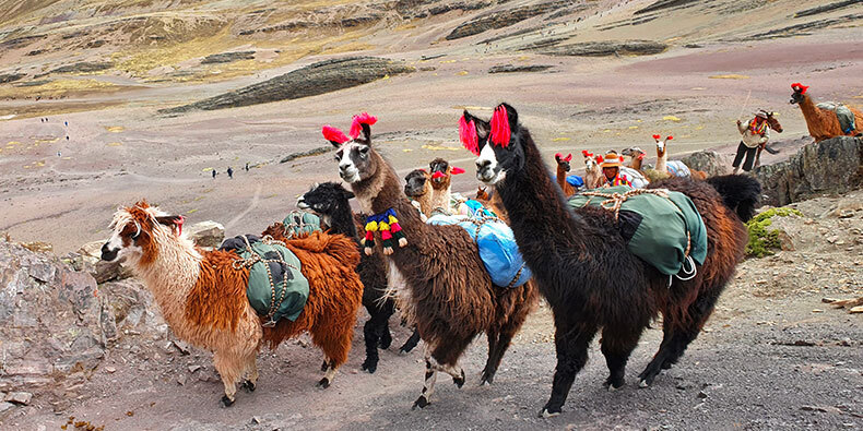 group of alpacas in vinicunca