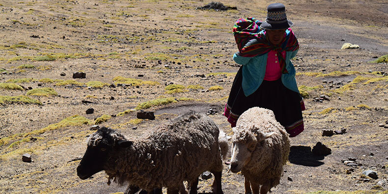 llamas on the way to vinicunca
